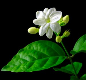 melati merupakan tanaman bunga hias berupa perdu berbat